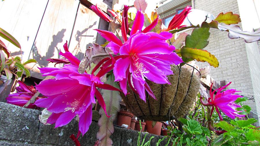 Epiphyllum-pegasus
