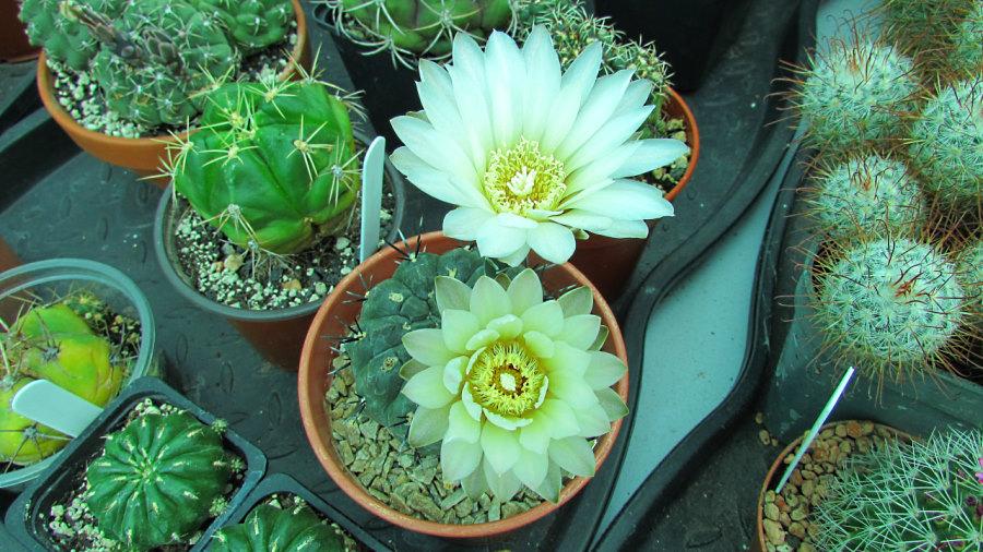 Gymno-white-blooms