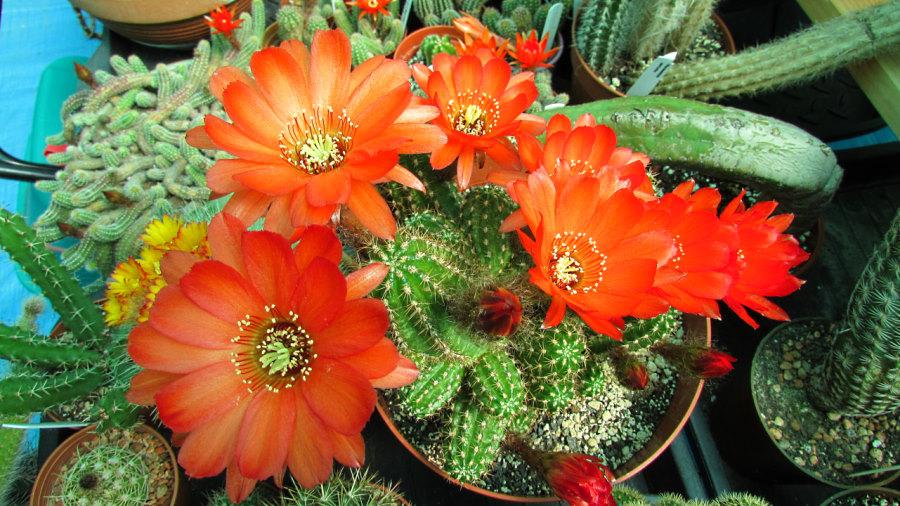 chamacereus-multiple-blooms