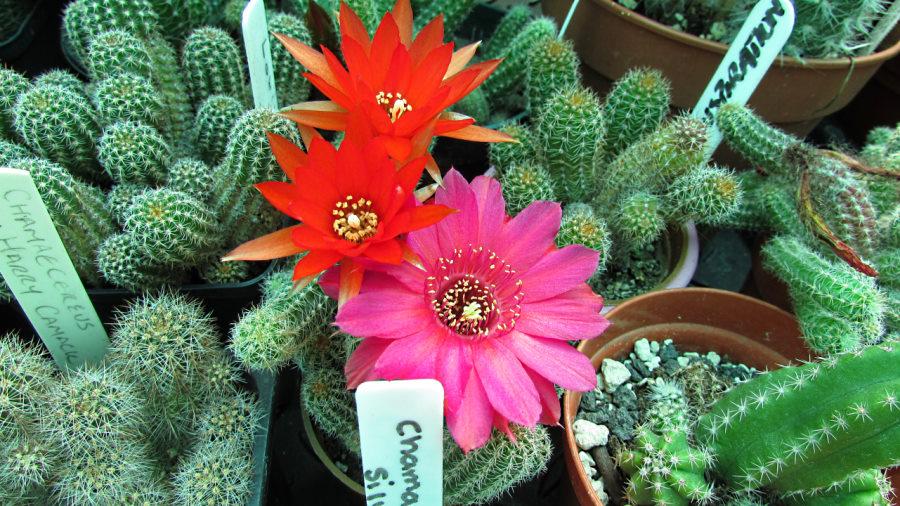 chamacereus-peanut-cactus