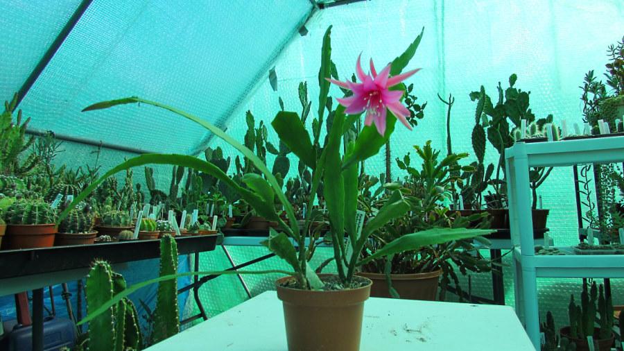 epiphyllum-delicate-jewels