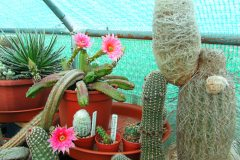 Echinocereus-gentryii