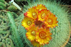 Parodia-orange-flame