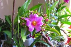 Pereskia-cactus