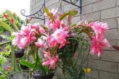 epiphyllum-German-Empress