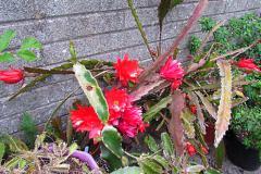 epiphyllum-ackermani-2