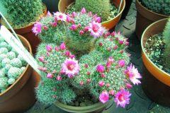 mammillaria-blooms