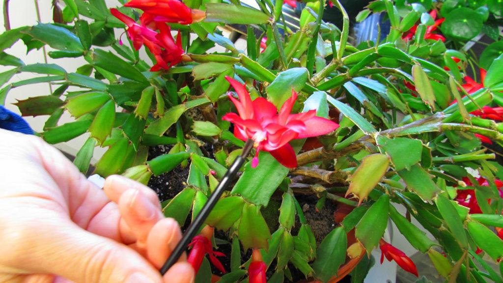 pollinating christmas cactus flowers, pollinating Christmas cactus