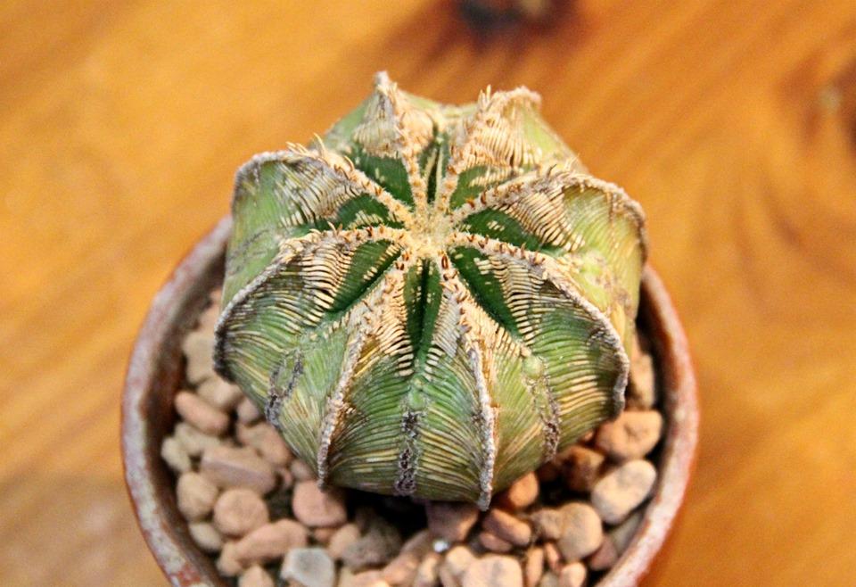 Aztekium, Aztekium hintonii, Aztekium cactus,