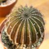How to Care For & Grow Uebelmannia Cacti